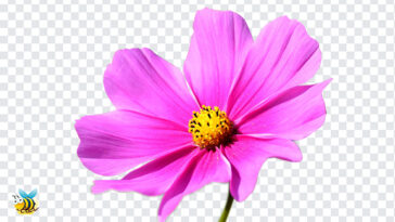 Cosmos Flower PNG