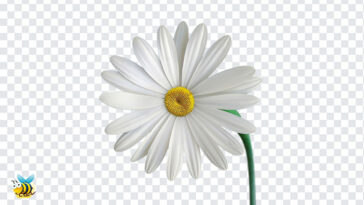 Marguerite Flower PNG