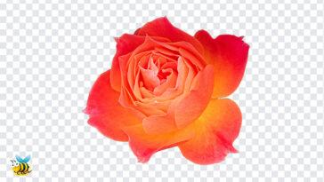 Orange Rose Flower PNG